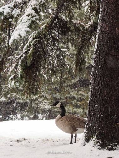 yeg, edmonton, lookbook, april, winter, spring, canada geese, hawrelak park, canada goose